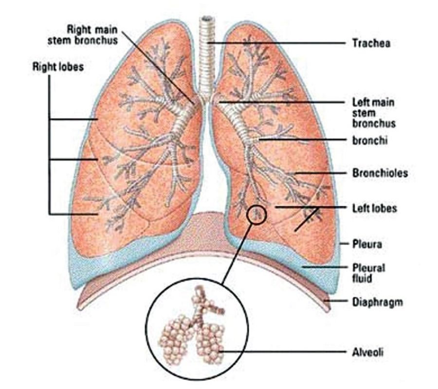 Organ Diagram of the Lungs