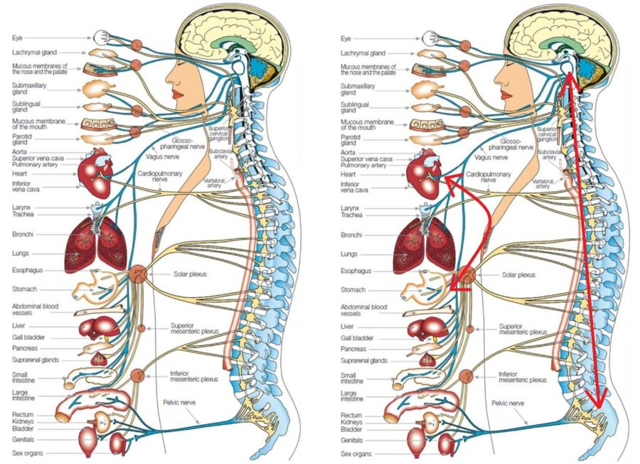 Surgical Diagram of Human Organs