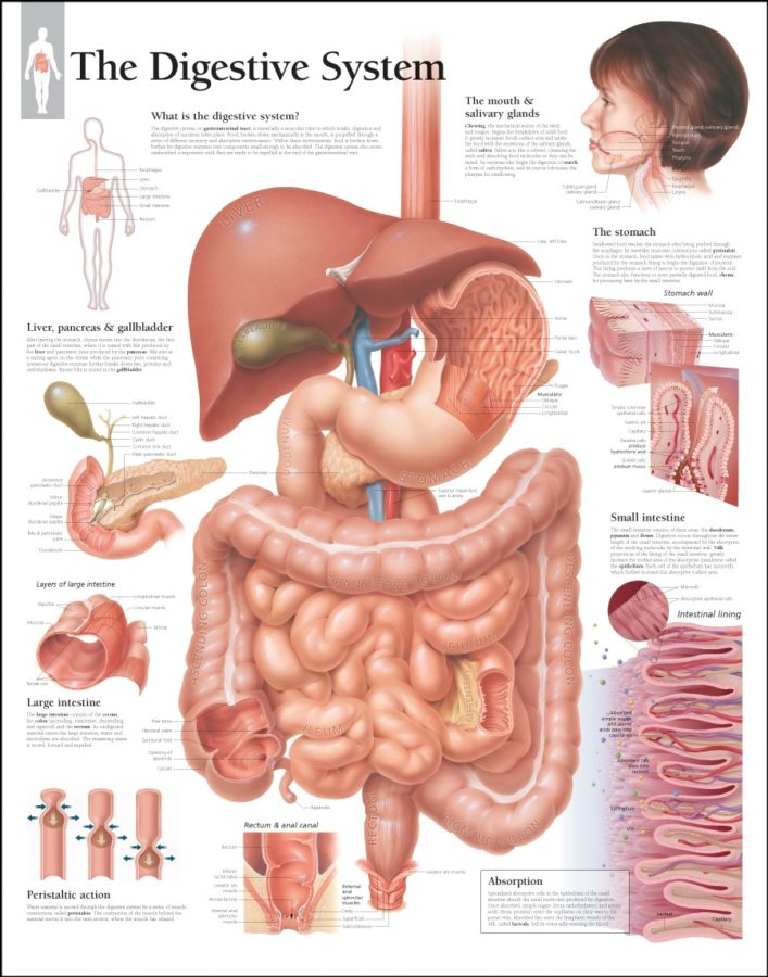 The Organs of Digestive Tract Diagram