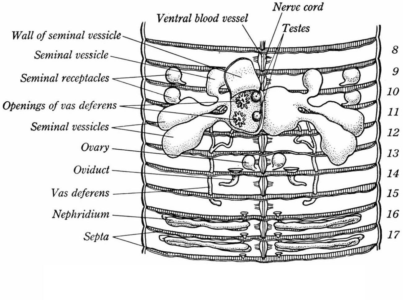 Anatomy Worm Diagram