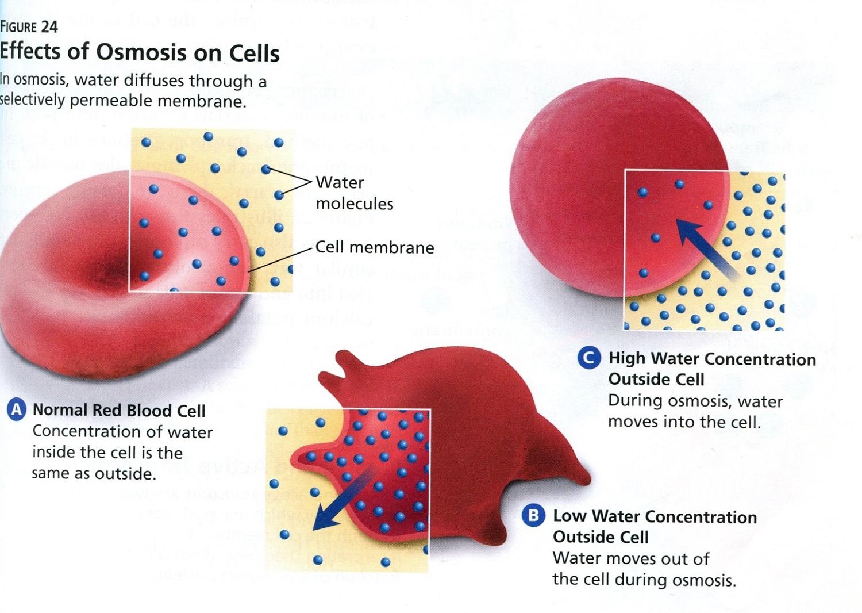 Cell Osmosis Diagram