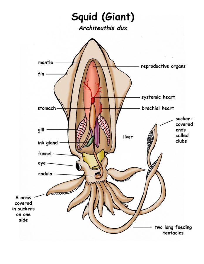 Giant Squid Diagram