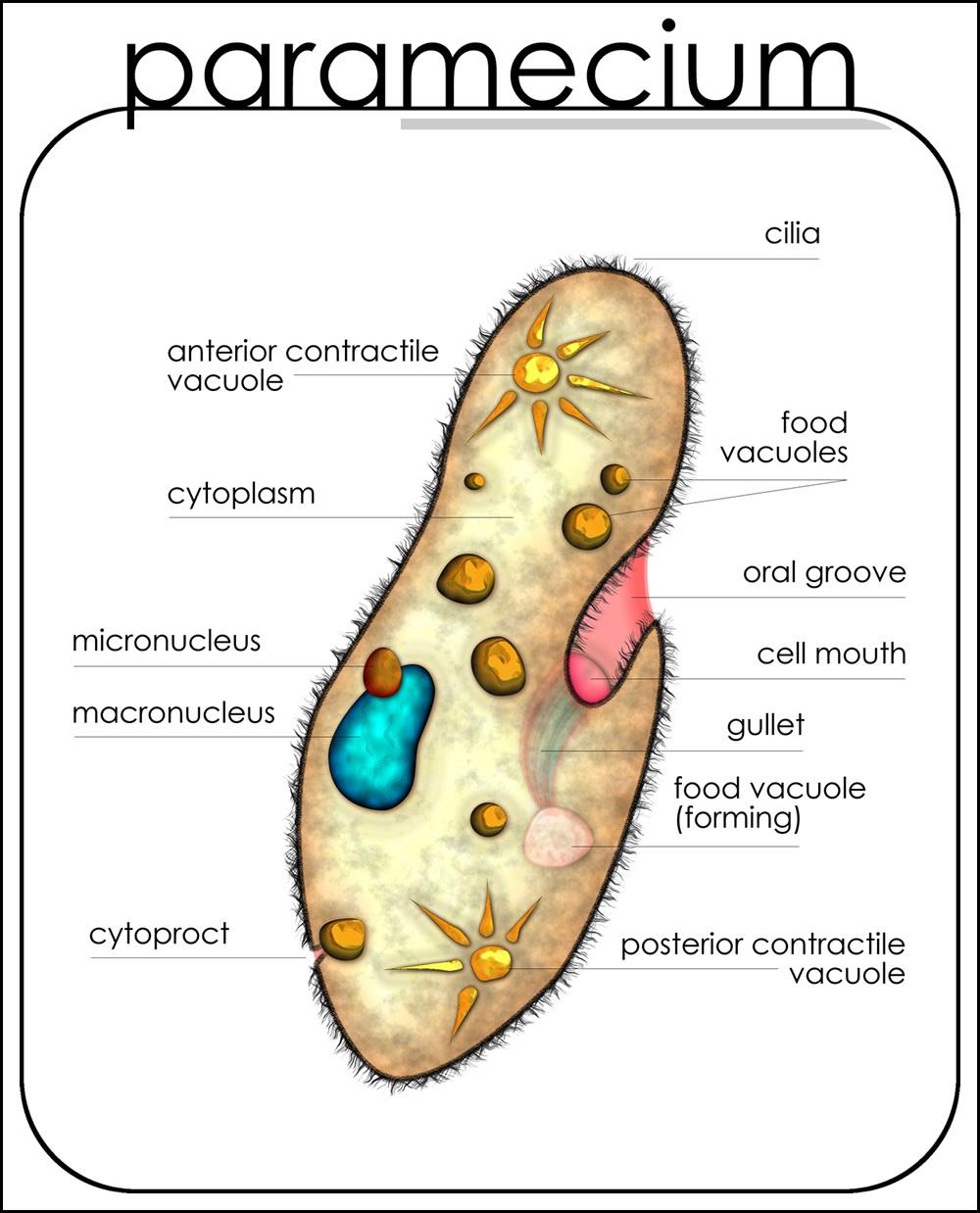 Paramecium Diagram Labeled