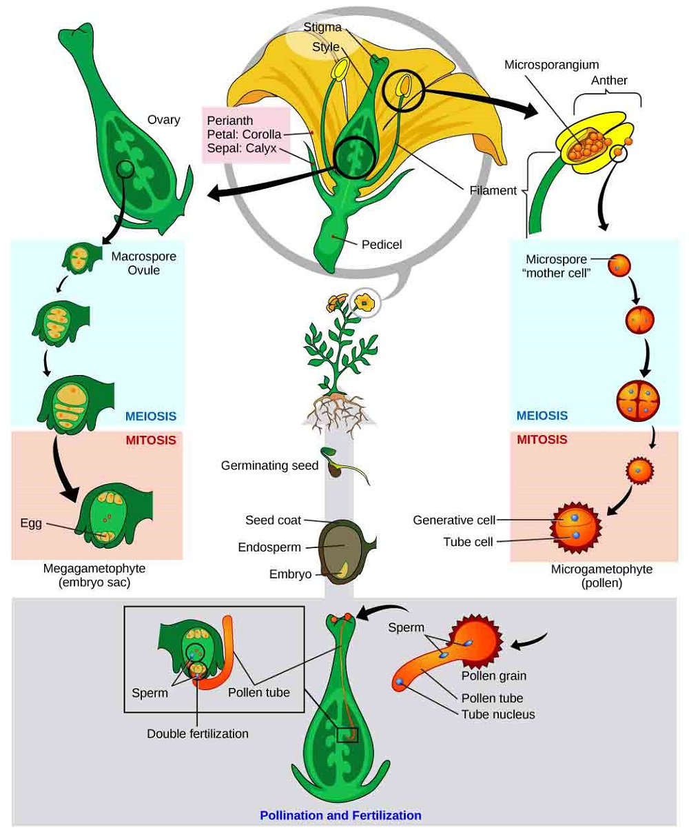 Plant Ovary Diagram