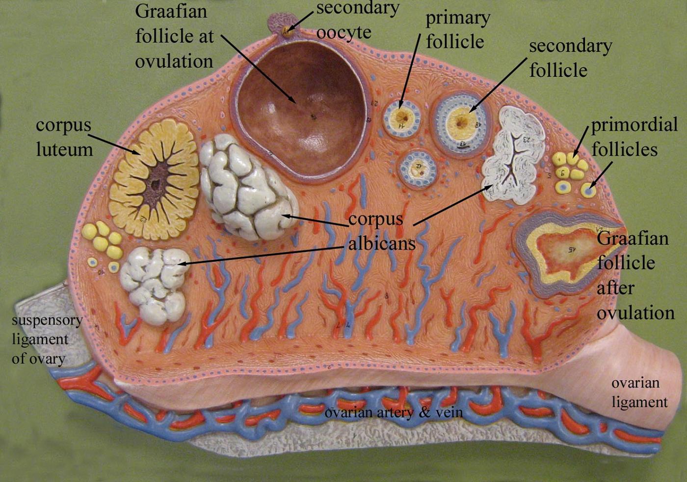 Sagittal Uterus Diagram
