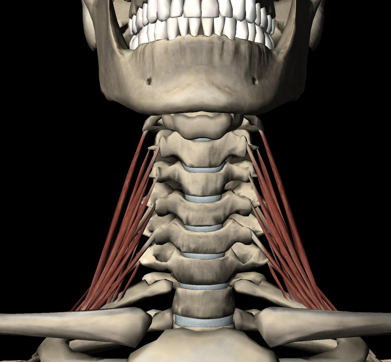 Skeleton Neck Diagram