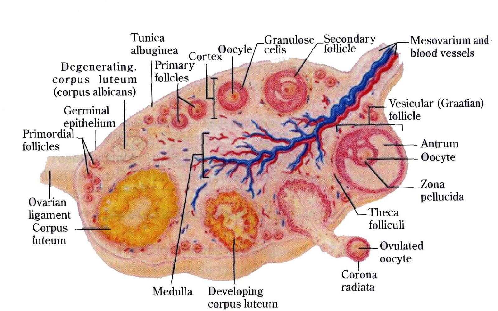 Structure Ovary Diagram
