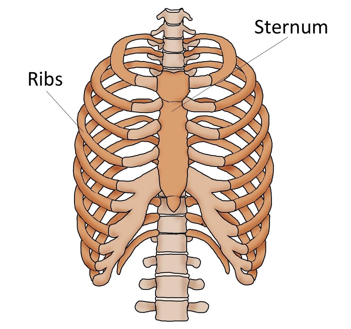 Human body organ diagram ribs