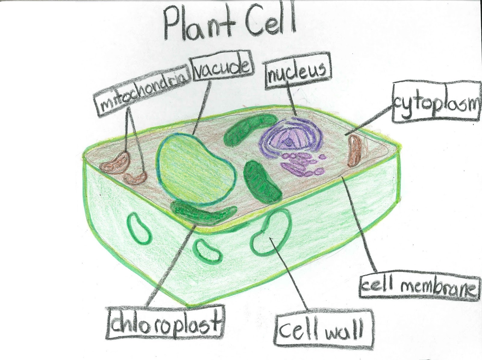 Plant Cell Diagram Labeled for 5th Graders