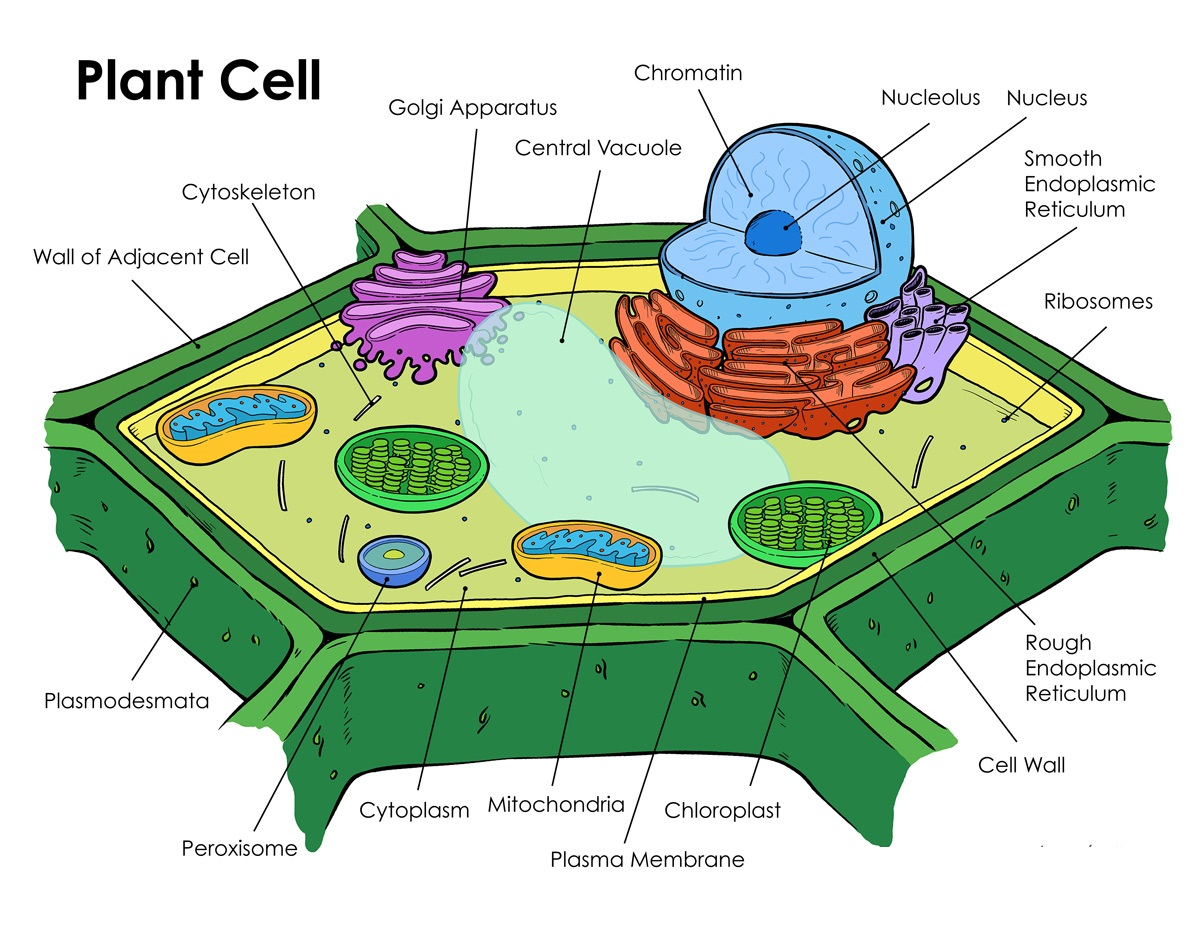 Printable Plant Cell Diagram Labeled