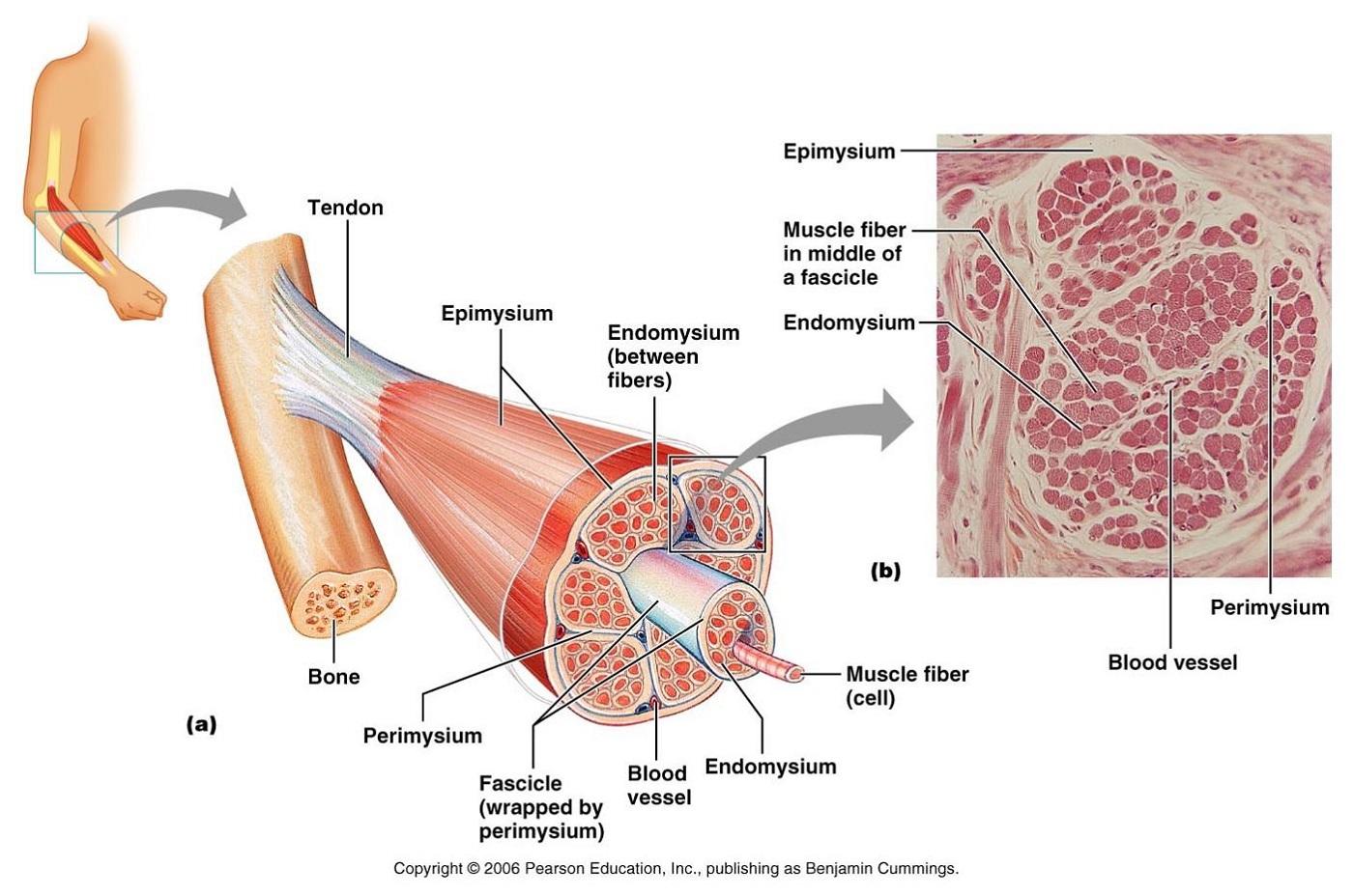 Skeletal Muscle Diagram Labeled