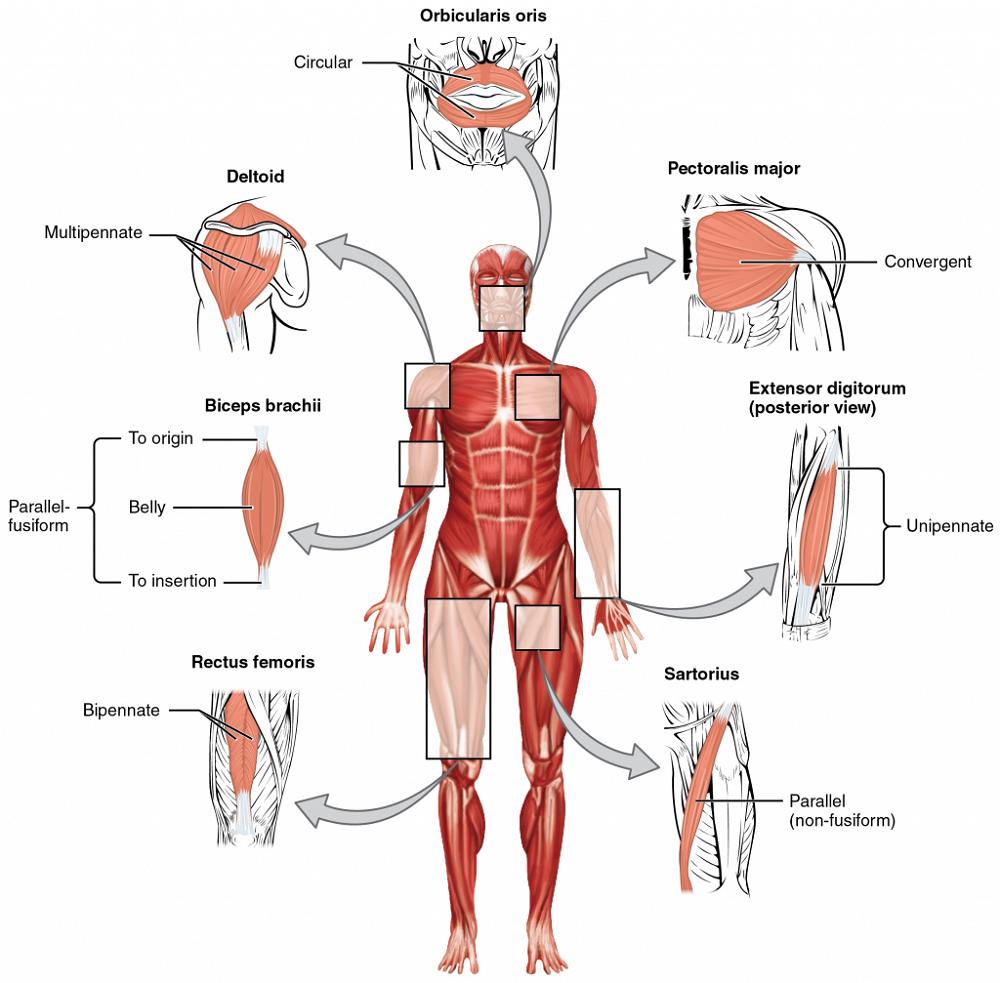 Skeletal Muscle Diagram Location