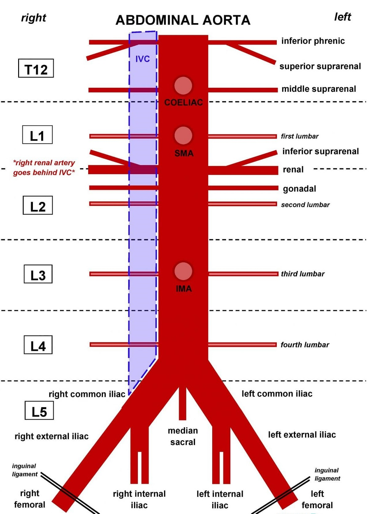Aorta Diagram Of Body