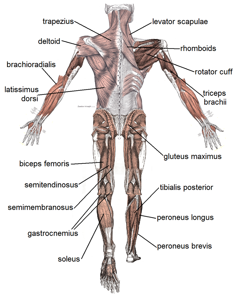 Body muscle diagram labeled