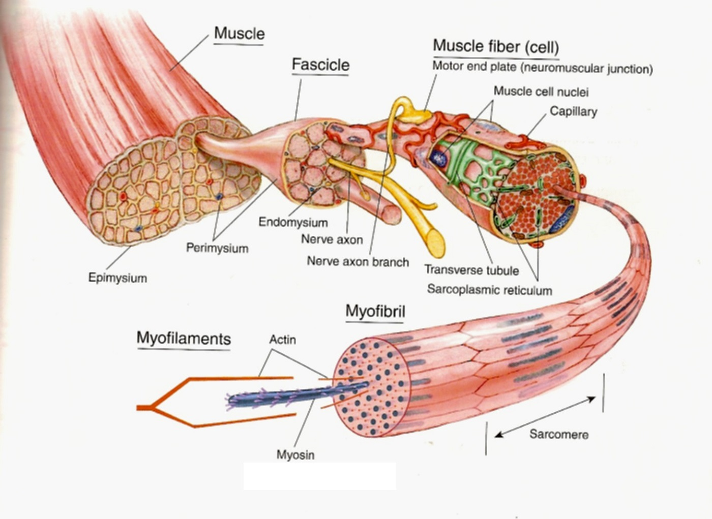 Body muscle diagram structure