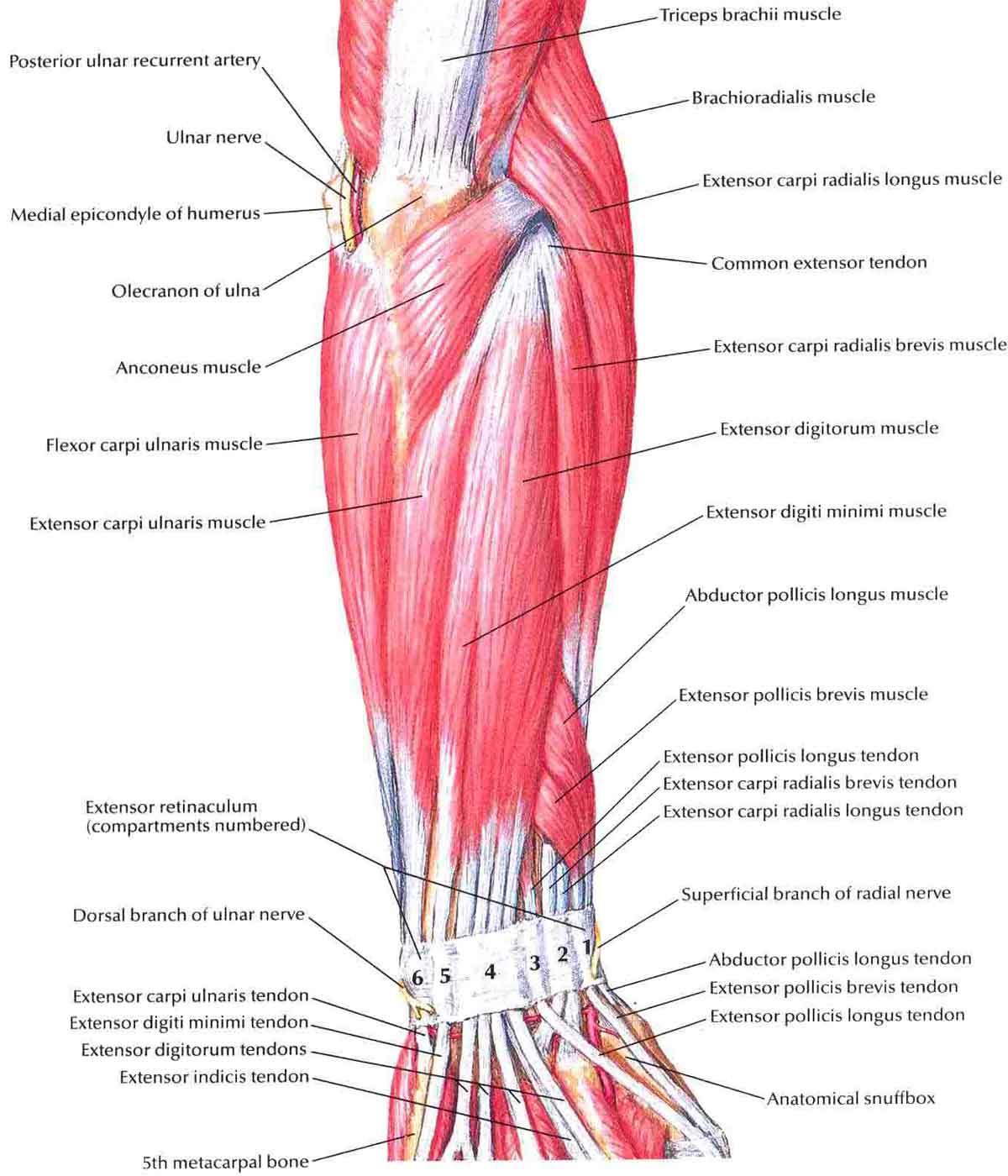 Muscles Arm Diagram