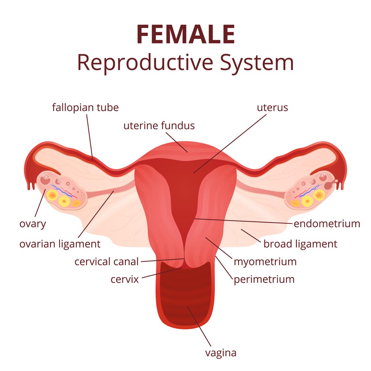 Words with No Reproductive System Diagram