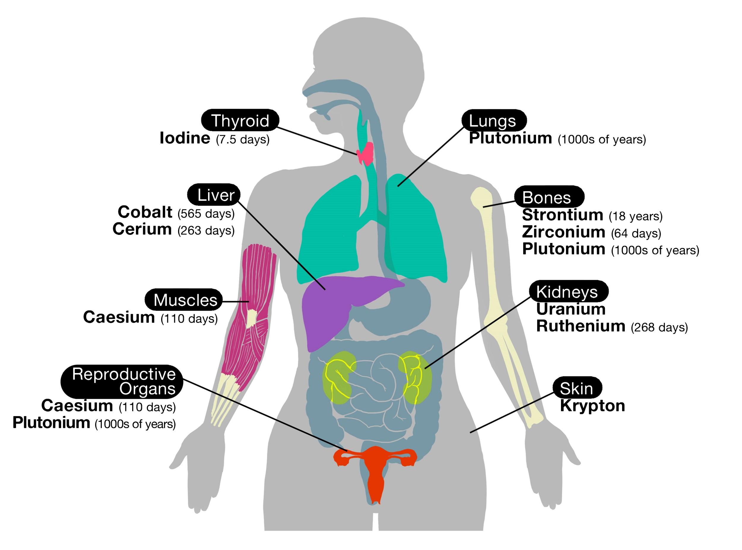 Body organ diagram for women