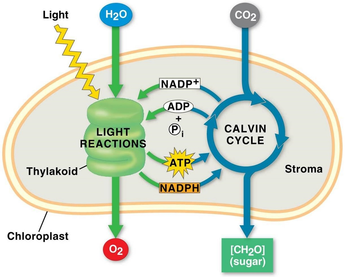 Diagram of Chloroplast during Photosynthesis