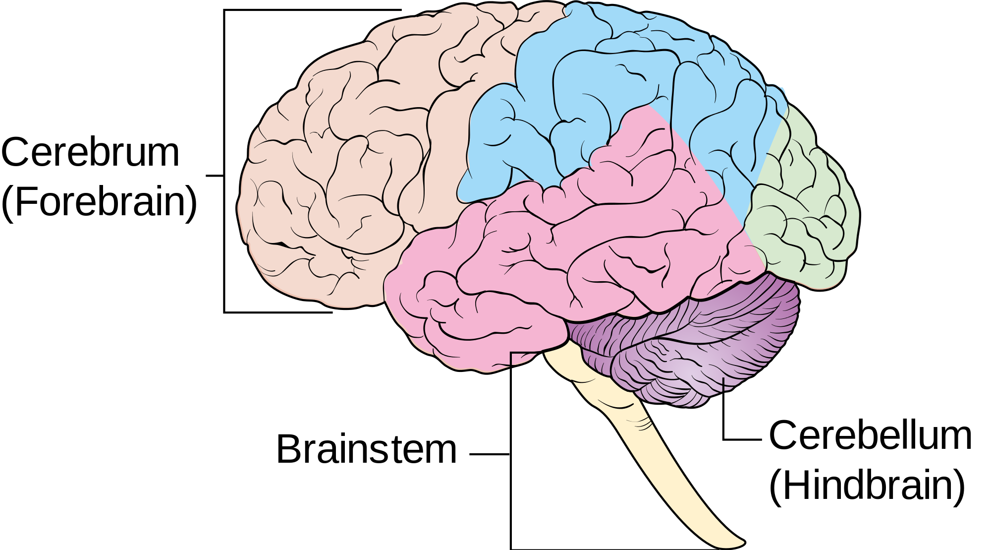 Female Diagram Brain