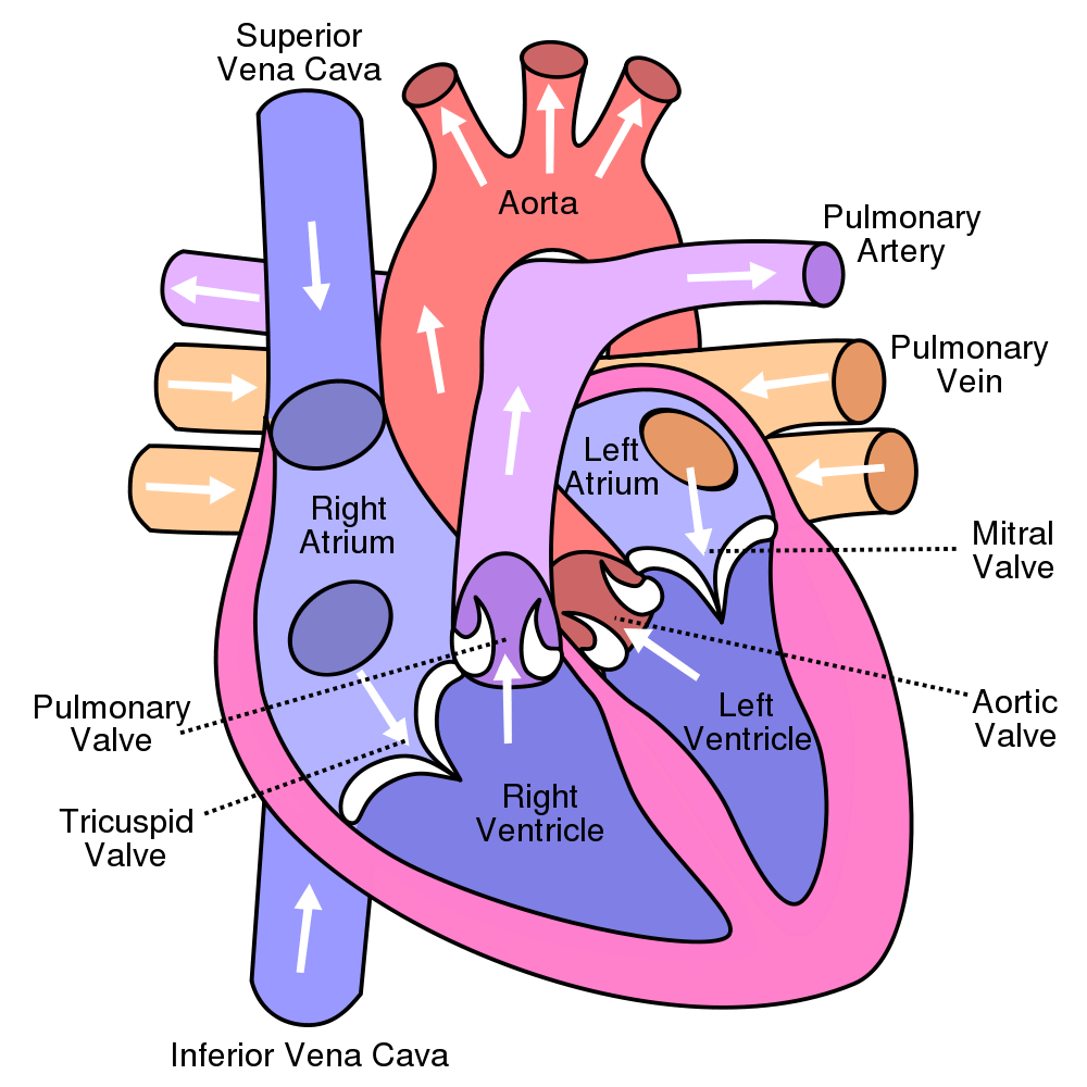 Diagram of Human Heart Labeled