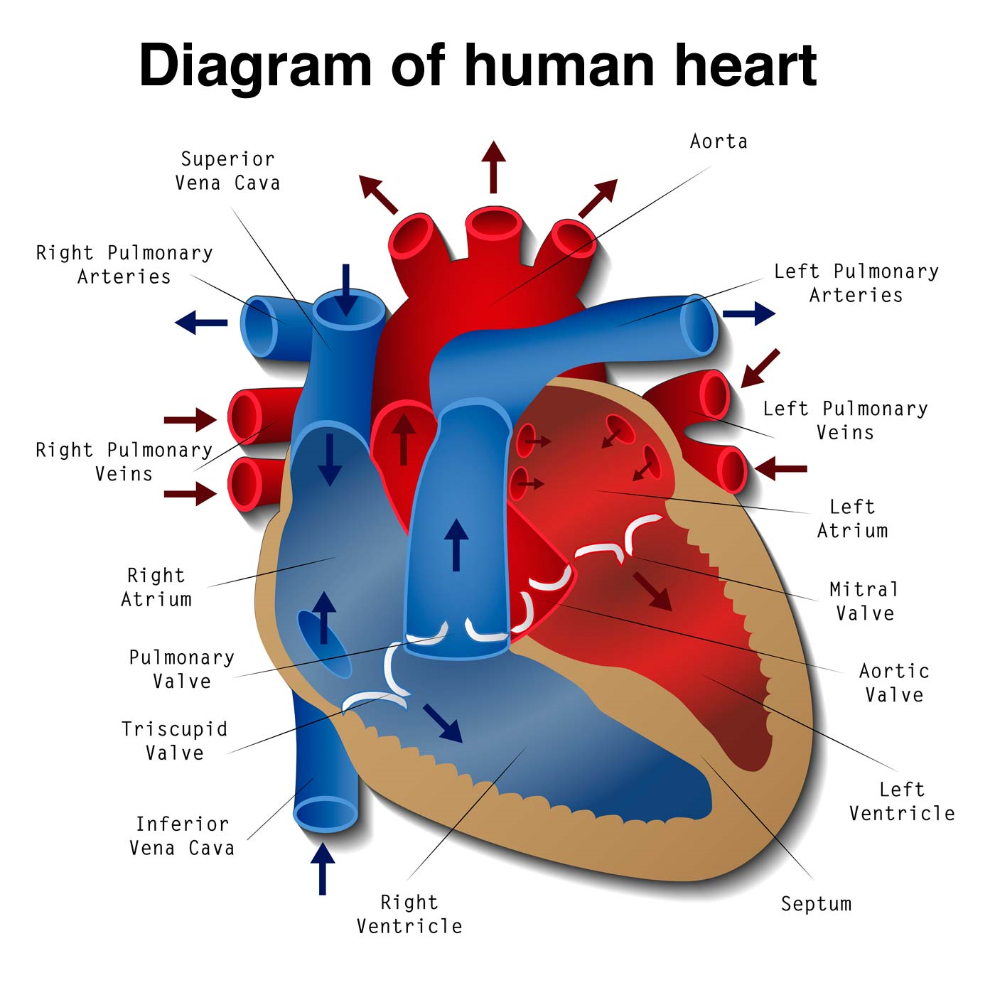 Diagram of Human Heart for Adults