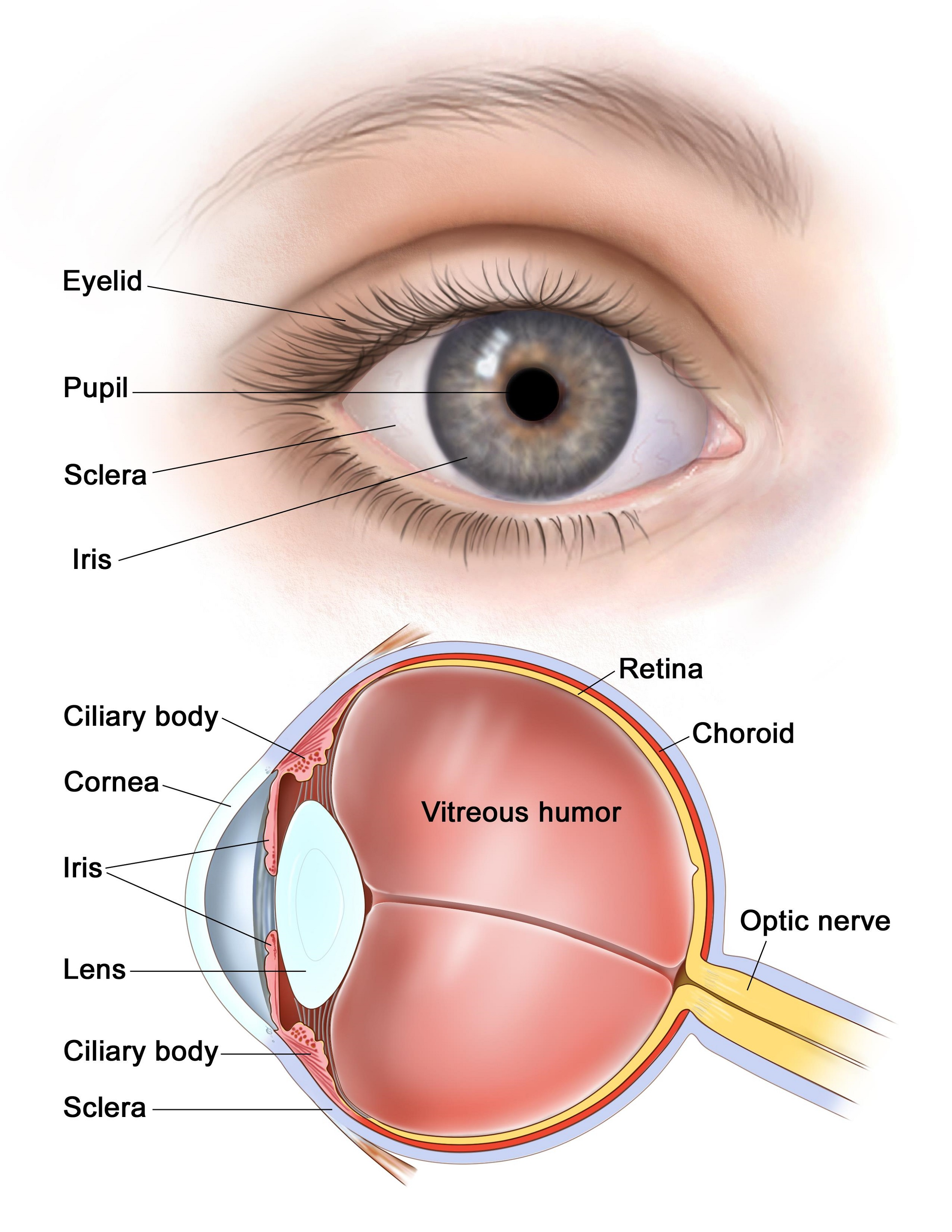 Front Eye Ball Diagram