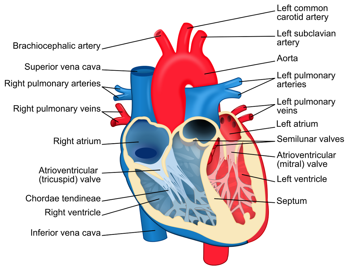 Heart Labeled Anatomy Diagram