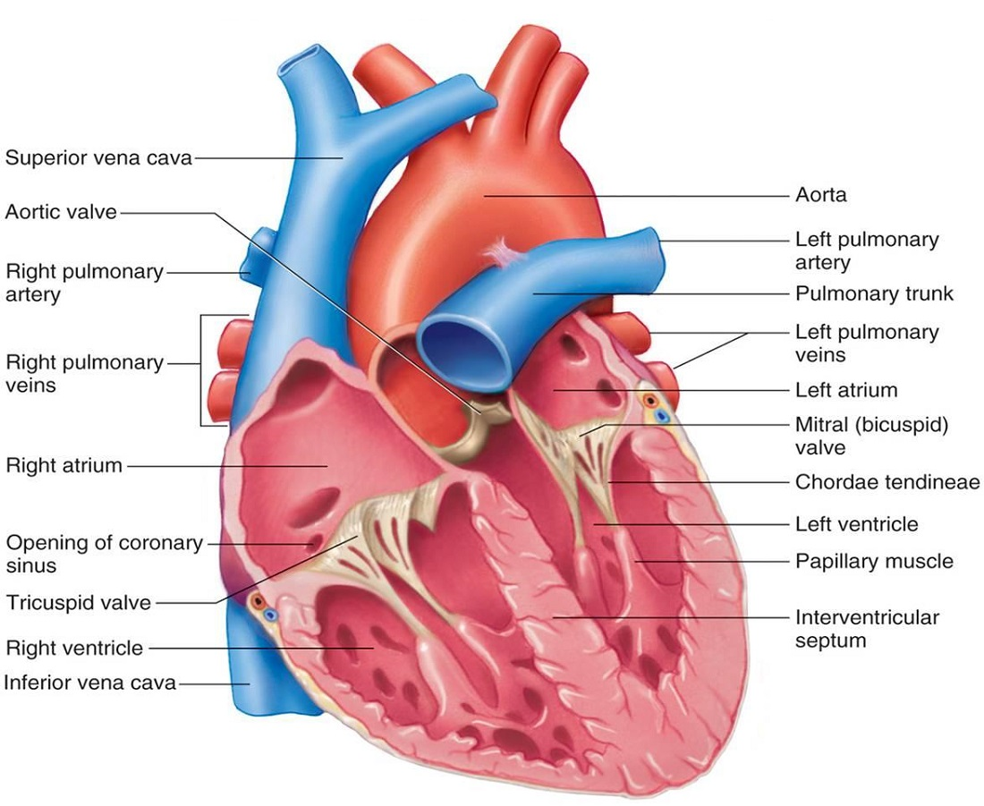 Human Labeled Heart Diagram