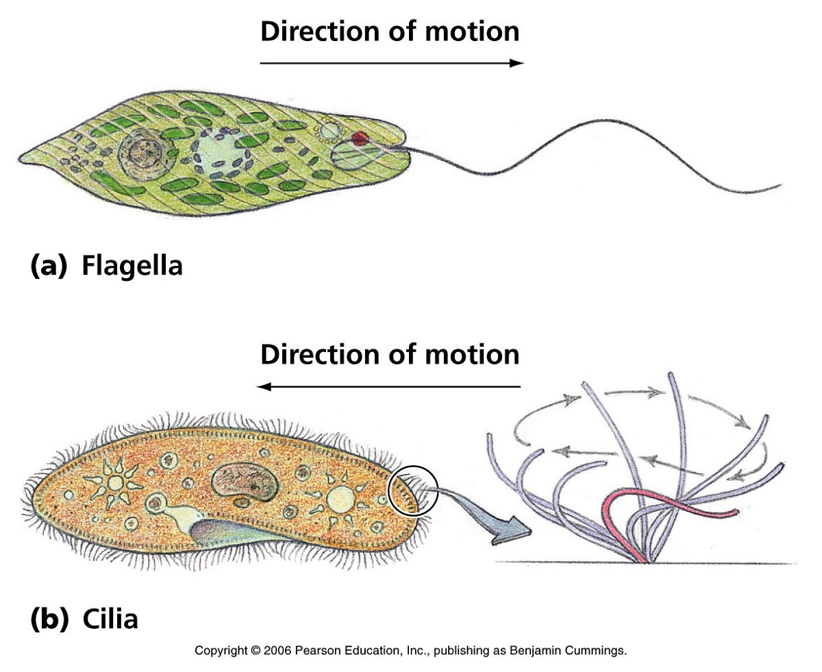 Euglena Diagram Direction of Motion