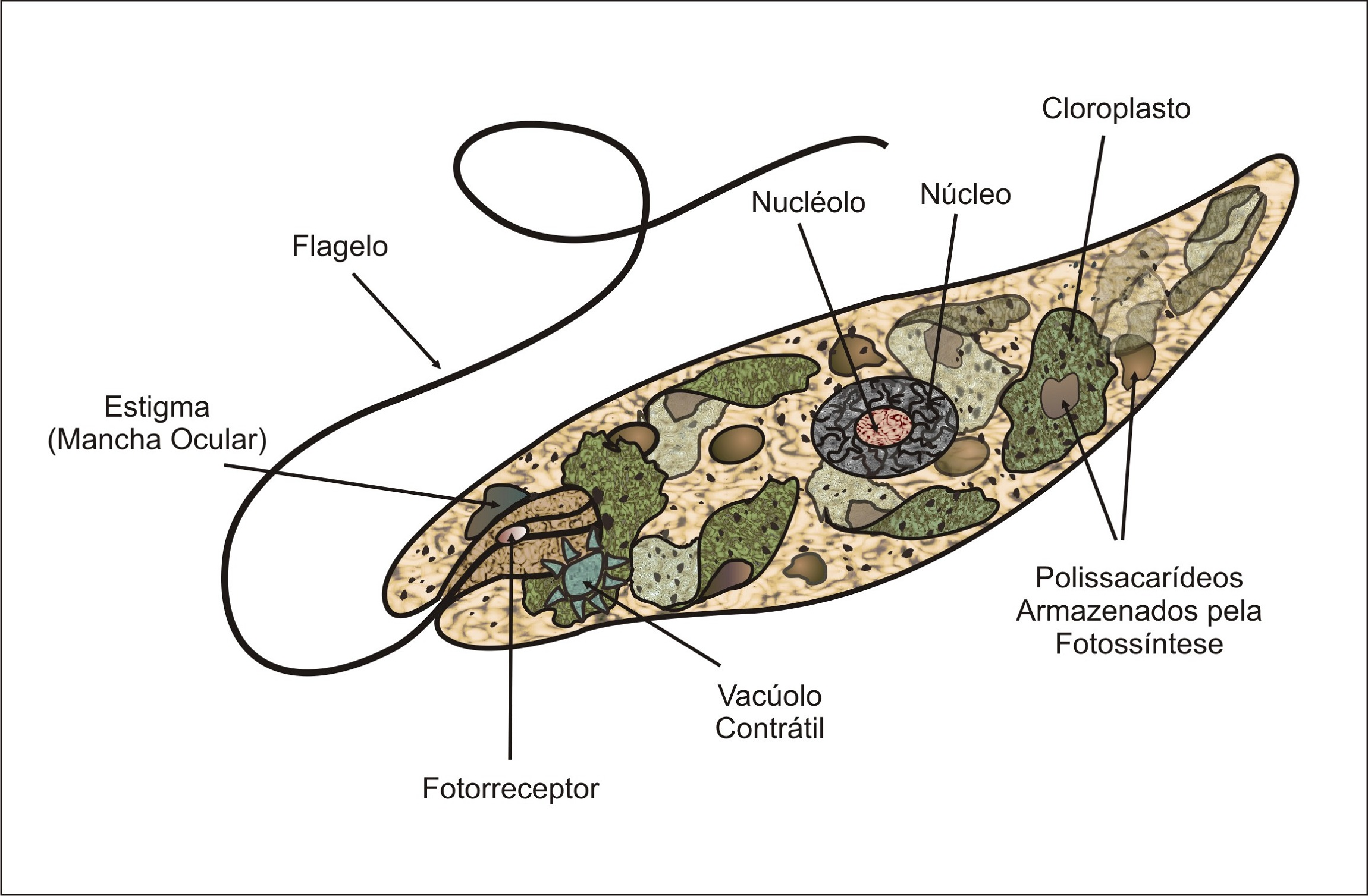 Euglena Diagram Labeled