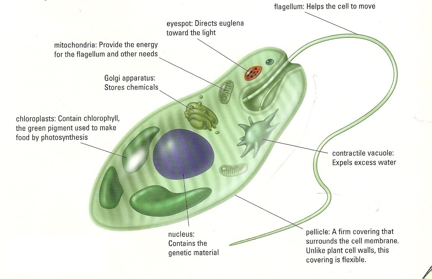 Euglena Diagram Parts and Functions