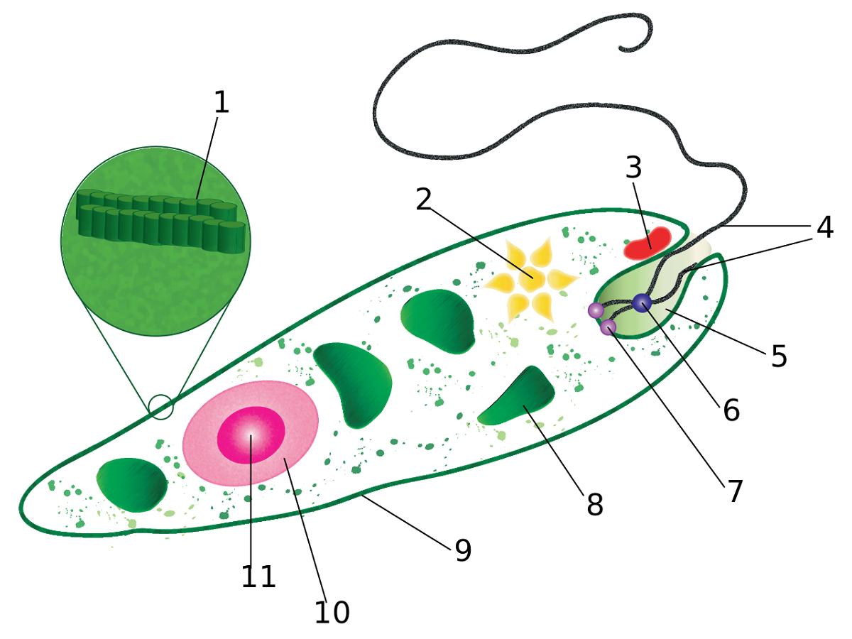 Protista Euglena Diagram