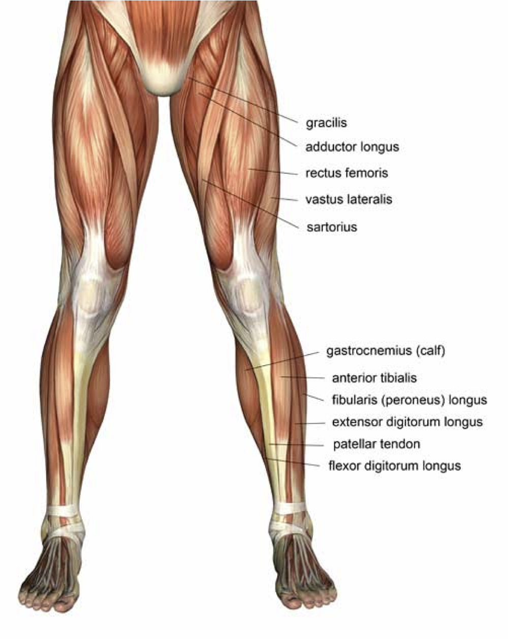 Front Leg Muscles Diagram