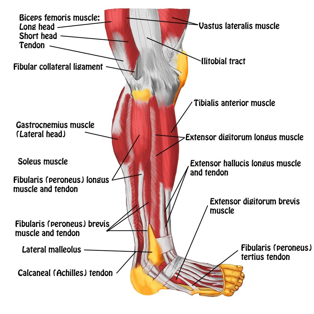 Left Leg Muscles Diagram