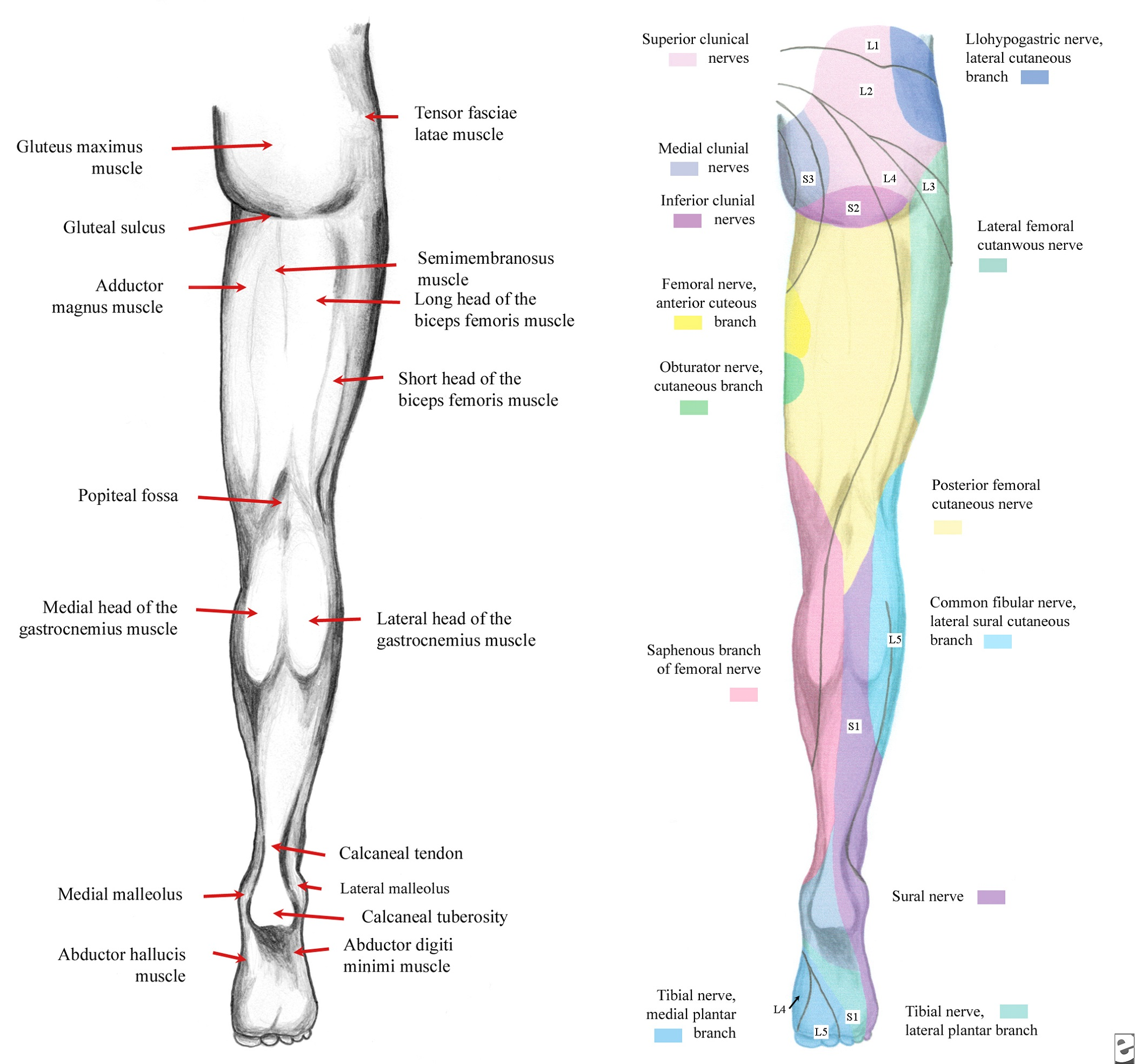 Names of Leg Muscles Diagram