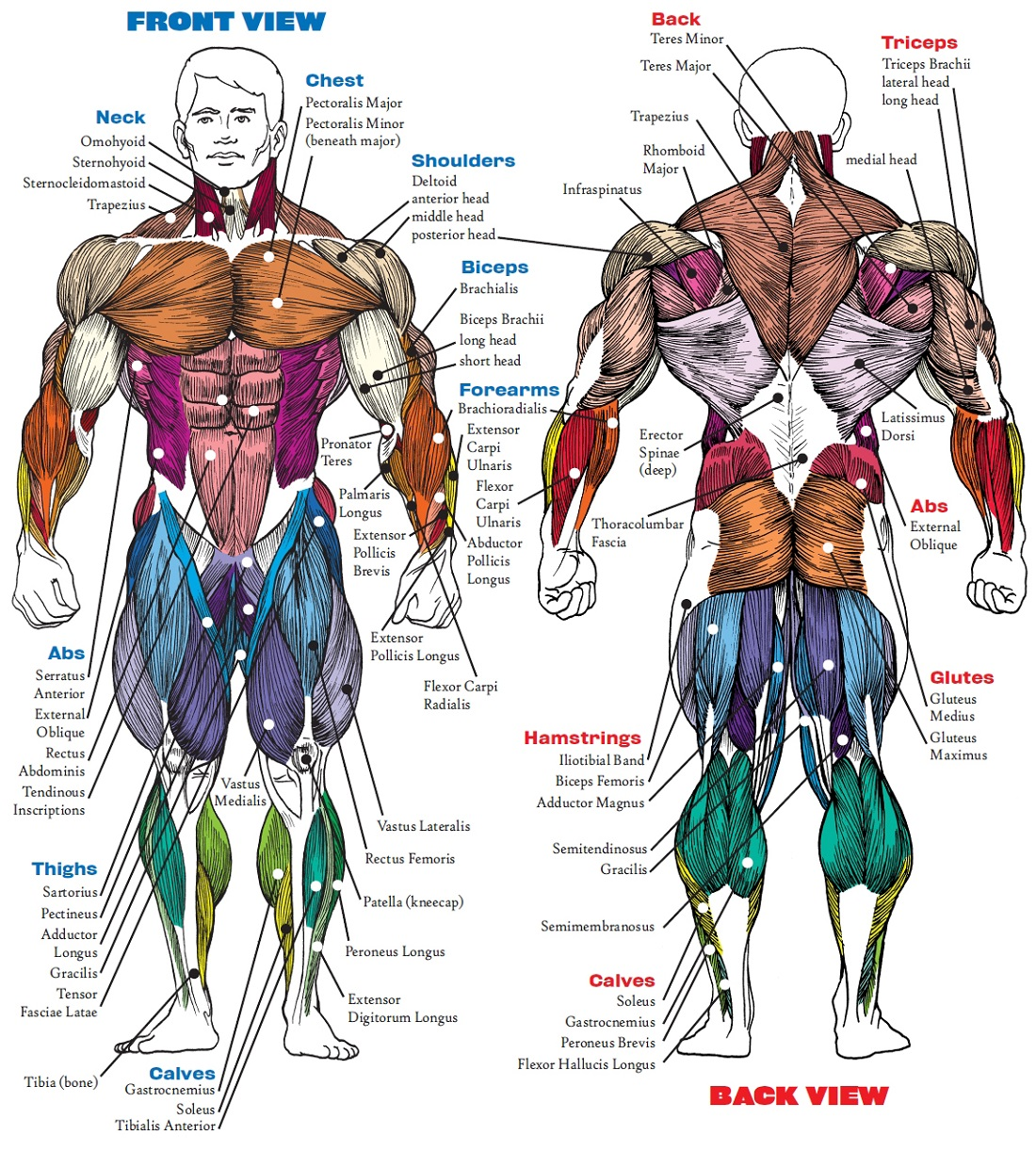Human Muscle Diagram Front and Back