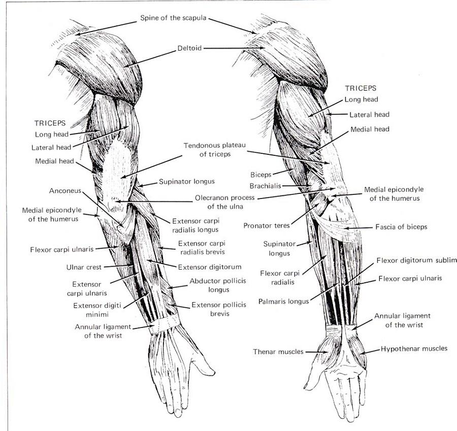 Printable Human Muscle Diagram Arm