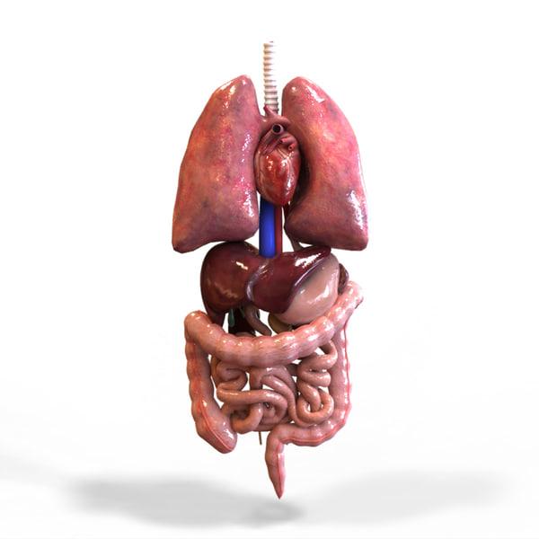 Human Organ Diagram Back and Front View - 101 Diagrams