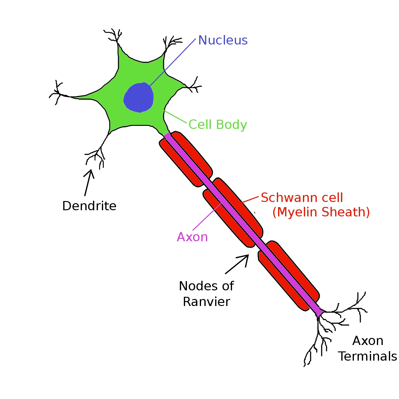 Nerve Cell Diagram Science