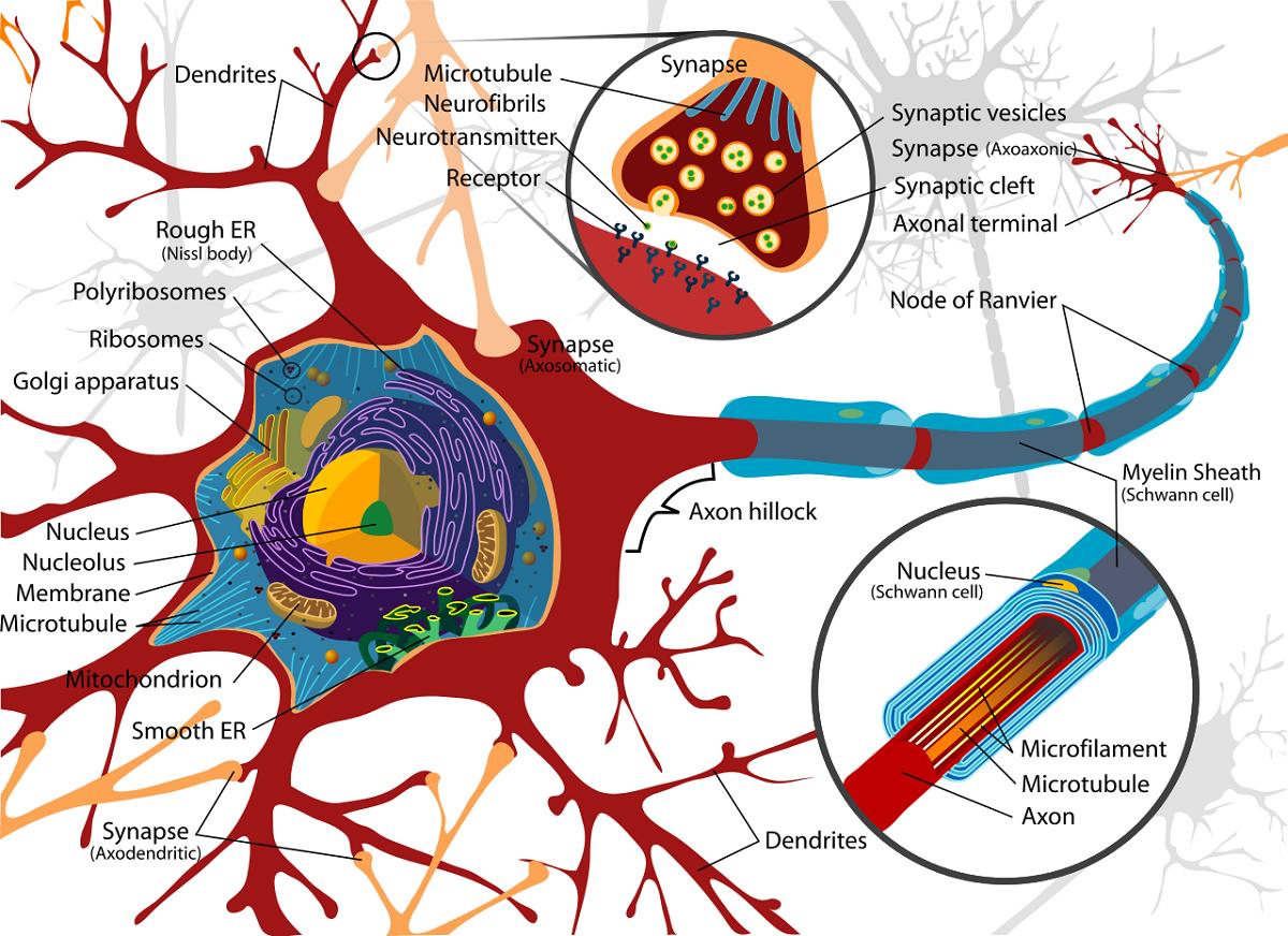 Advanced Nerve Cell Diagram