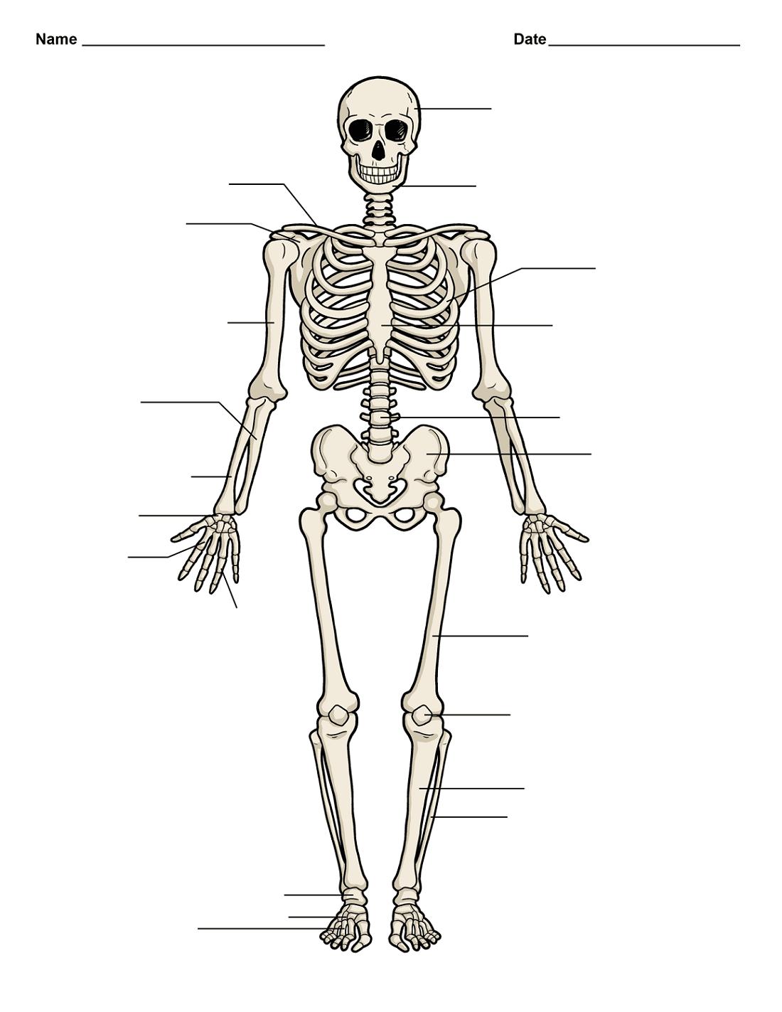 Bones Human Diagram