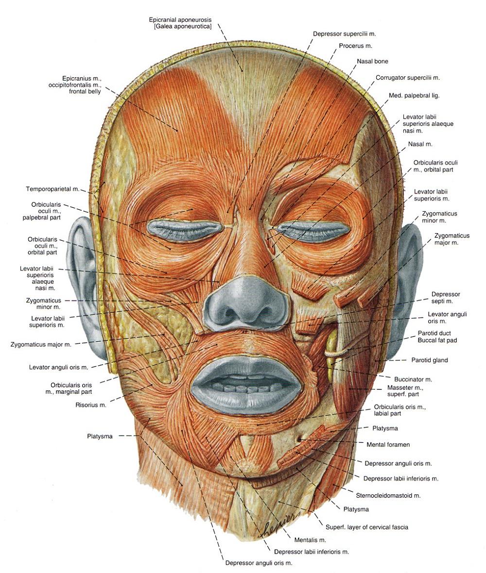 Facial Muscles Diagram
