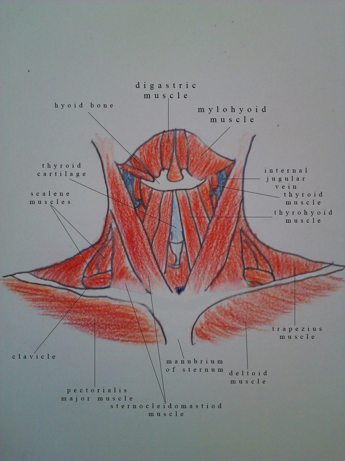 Neck Muscles Diagram